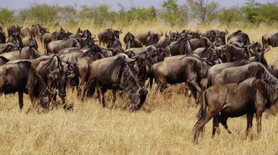 狮子,犀牛,野水牛,猎豹和羚羊,斑马,角马,河马,长颈鹿等野生动物的