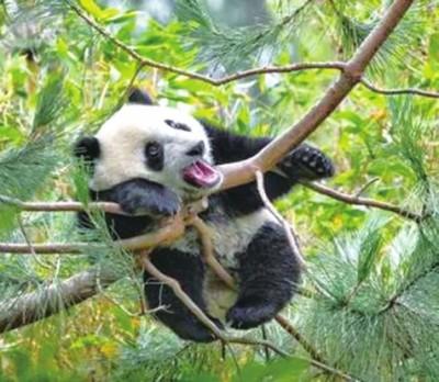 汉朝著名王牌部队细柳营,它们的战旗上就画了一头大熊猫,汉武帝刘彻还